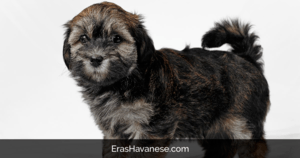 Find the Best Havanese Breeders with Puppies for sale in all 50 States