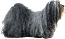 The Havanese Dog
