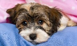 Havanese Puppy looking innocent