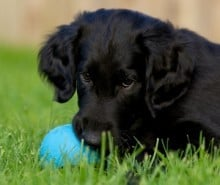 flat-coated-retriever-with ball